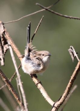 Female Fairy Wren