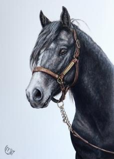 Uncle Jo - Connemara Stallion